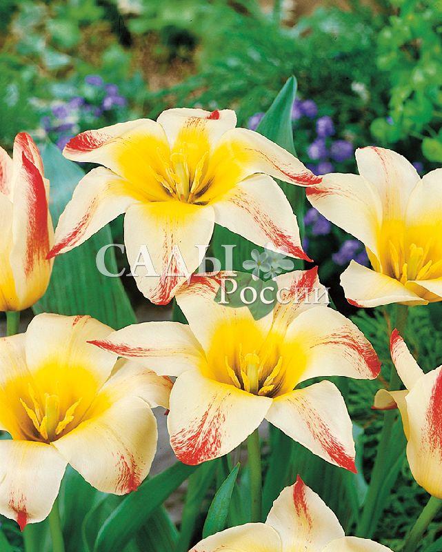 Тюльпаны АддисТюльпаны Грейга<br>5 шт.    Тюльпаны Грейга.<br>