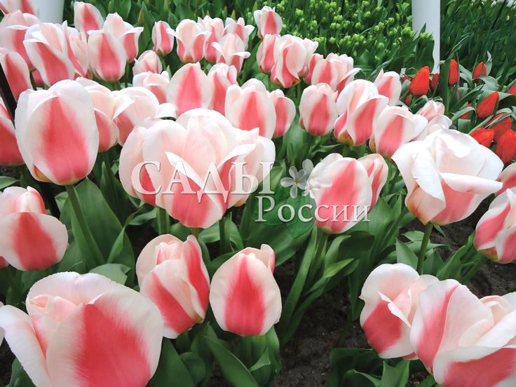 Тюльпаны Вильям ван ден ЭккерТюльпаны Грейга<br>5 шт.    Тюльпаны Грейга.<br>