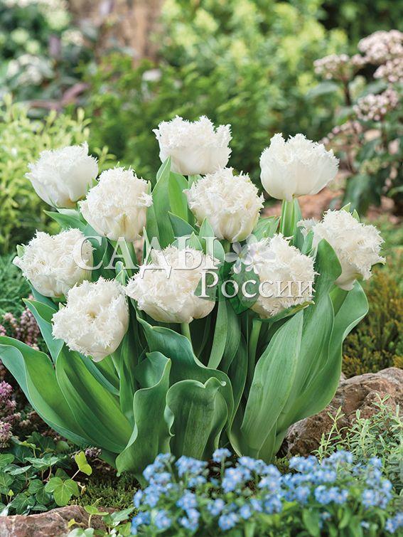 Тюльпаны Ледяная кромкаТюльпаны Махровые поздние<br>5 шт.  <br> <br>Махровые поздние.<br>