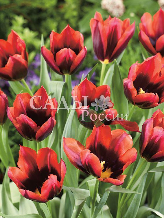 Тюльпаны СлаваТюльпаны Триумф<br>5 шт.  <br><br>Триумф.<br>