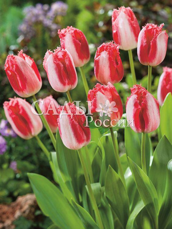 Тюльпаны Город страстиТюльпаны Бахромчатые<br>НОВИНКА!   <br>5 шт.  <br><br>Бахромчатые.<br>