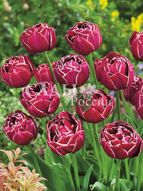 Тюльпаны Добрый сонТюльпаны Махровые поздние<br>НОВИНКА!   <br>4 шт. <br> <br>Махровые поздние.<br>