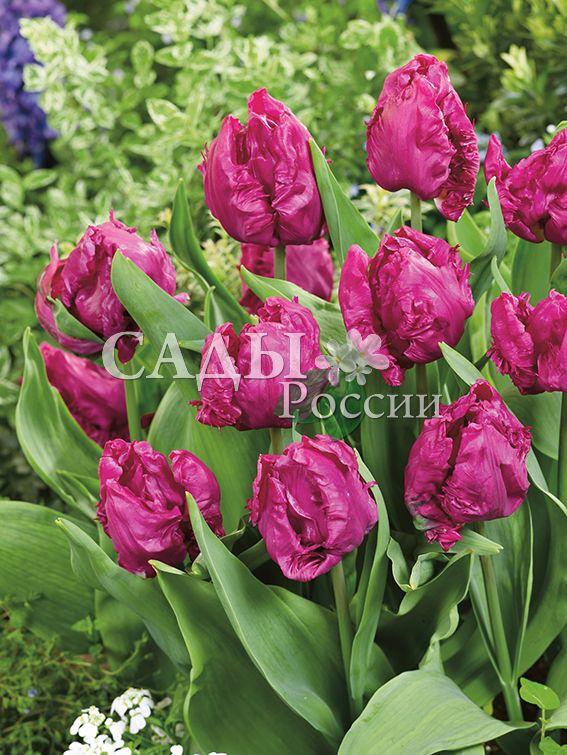 Тюльпаны ПринцТюльпаны Попугайные<br>НОВИНКА!   <br><br>5 шт.   <br><br>Попугайные.<br>