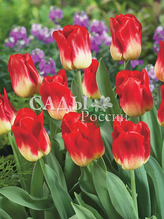 Тюльпаны Идеальная параТюльпаны Триумф<br>НОВИНКА!   <br>5 шт.  <br><br>Триумф.<br>
