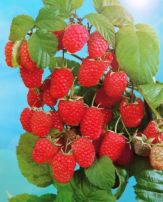Малина БригантинаМалина красная<br>Куст компактный средней высоты. Урожайность высокая — до 2 кг с<br>куста. Ягоды крупные массой 3,2—3,8 г, тёмно-малиновые,<br>хорошего вкуса.<br>