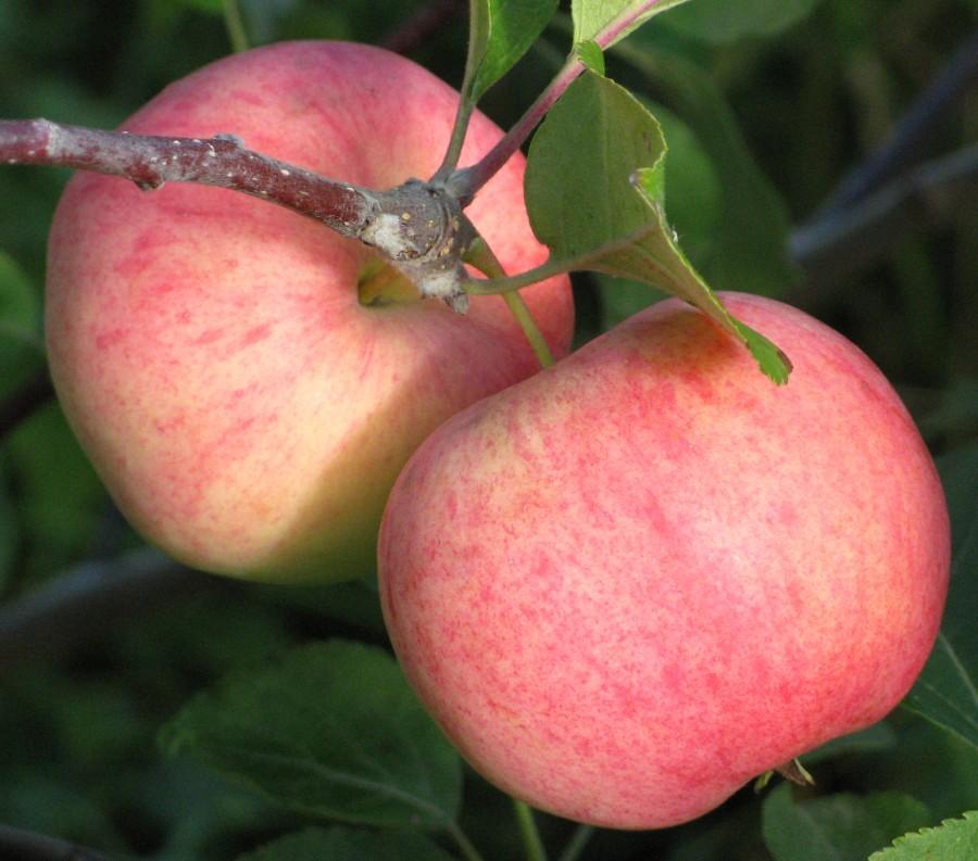 Яблоня Соковое-3Яблоня Осенние сорта<br>Деревья этого сорта крепкие,<br>зимостойкие, среднерослые, с высокой урожайностью.<br>