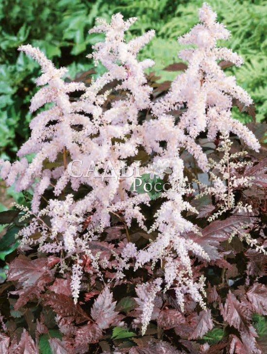 Астильба Брызги цветаАстильба<br>Очаровательный и нежный сорт-лицедей с перламутрово-розовыми<br>пушистыми соцветиями на контрастных тёмно-вишнёвых цветоносах.<br>