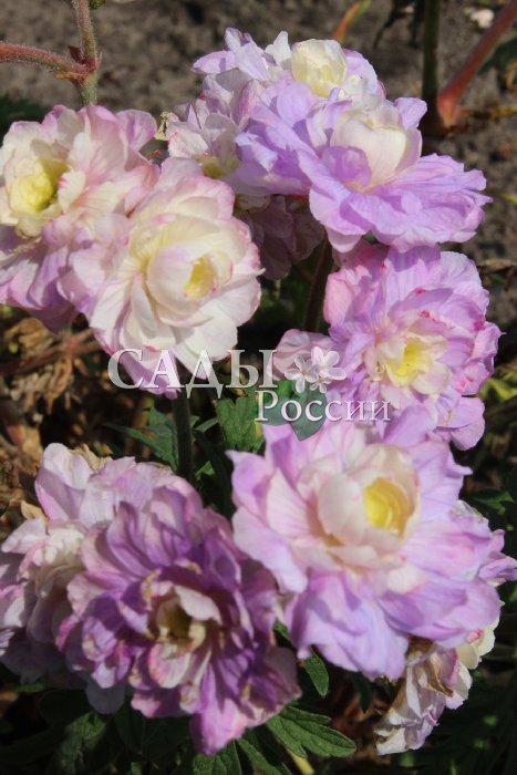 Герань Летнее небоГерань<br>Необычайно эффектный сорт-сенсация с крупными, до 3 см диаметре, махровыми цветками,<br>впитавшими в себя очарование нежных розовато-лавандовых красок летнего неба.<br>