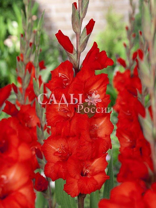 Гладиолус Глубокий красный