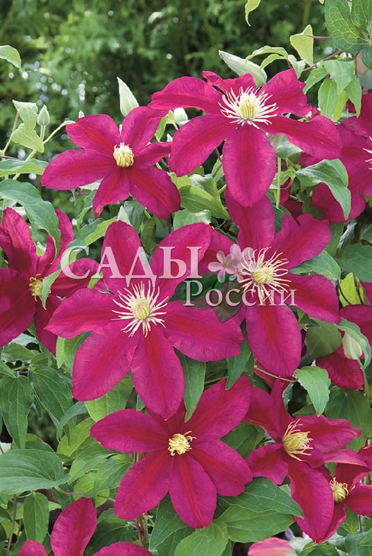 Клематисы ЗакатКлематисы<br>Очень точное название сорта. Его цветки ослепляют сочными красками закатного неба: вишнёвой,<br>красной, лиловой, сиреневой, бордовой и фиолетовой.<br>