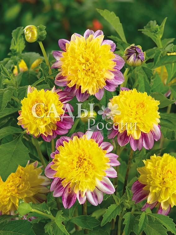 Георгины Буги-ВугиГеоргины анемовидные<br>НОВИНКА!  <br><br>Цветок у анемоновидных георгинов имеет забавную «подушечку» из трубчатых цветков в серёдке и<br>«юбочку» из лепестков по краям, состоящую из 1-3<br>рядов.<br>