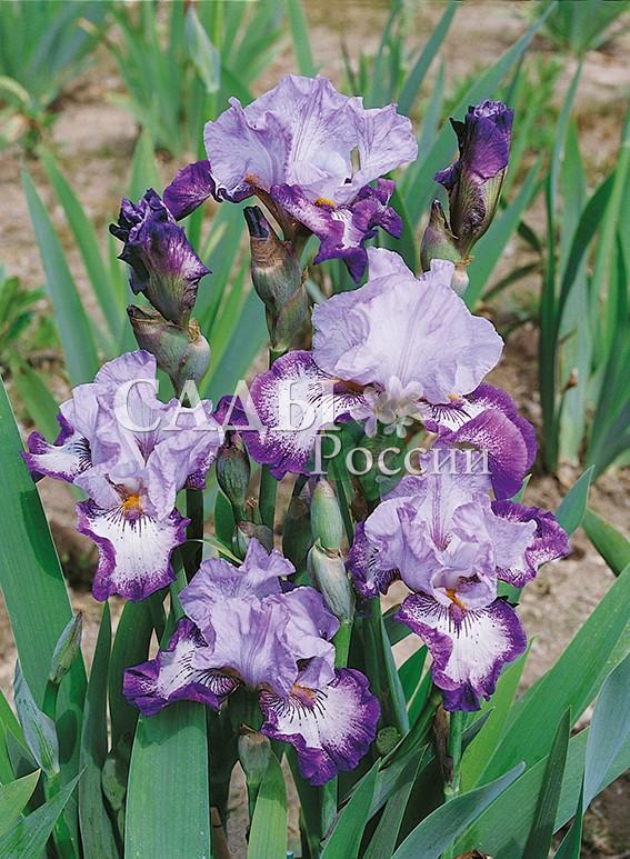 Ирисы Роскошный жабоИрисы бородатые<br>НОВИНКА!  <br> <br>Цветок с лепестками очень нежного лавандово-розового, бледнеющего к центру цвета.<br>