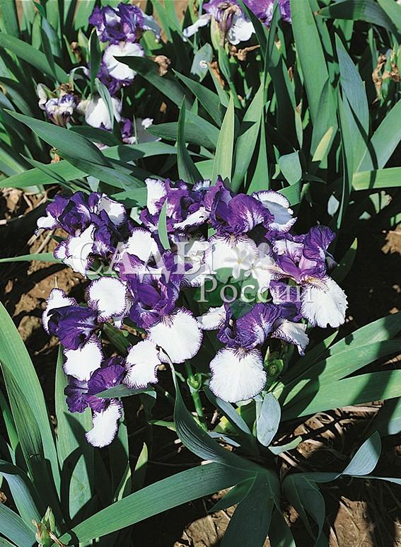 Ирисы Редкий гостьИрисы бородатые<br>НОВИНКА!  <br> <br>Невысокий, очень изящный ирис с цветком, похожим на фарфоровый.<br>