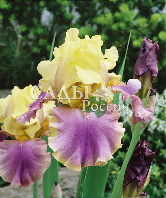 Ирисы ПерезвонИрисы бородатые<br>НОВИНКА!  <br> <br> <br>Яркий контрастный цветок этого ириса всегда заставит обратить на себя внимание.<br>