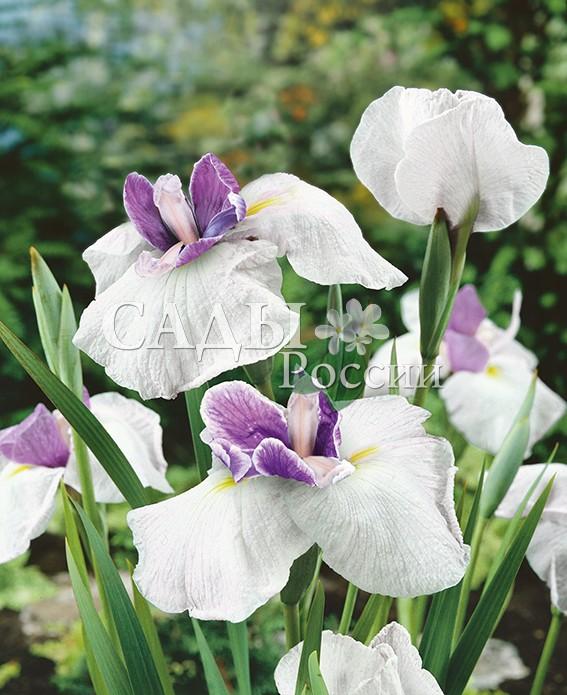 Ирисы Королевская тиараИрисы японские<br>НОВИНКА!  <br> <br> <br>Величественный высокий сорт. Гордо несёт свои<br>стебли, увенчанные крупными цветками.<br>