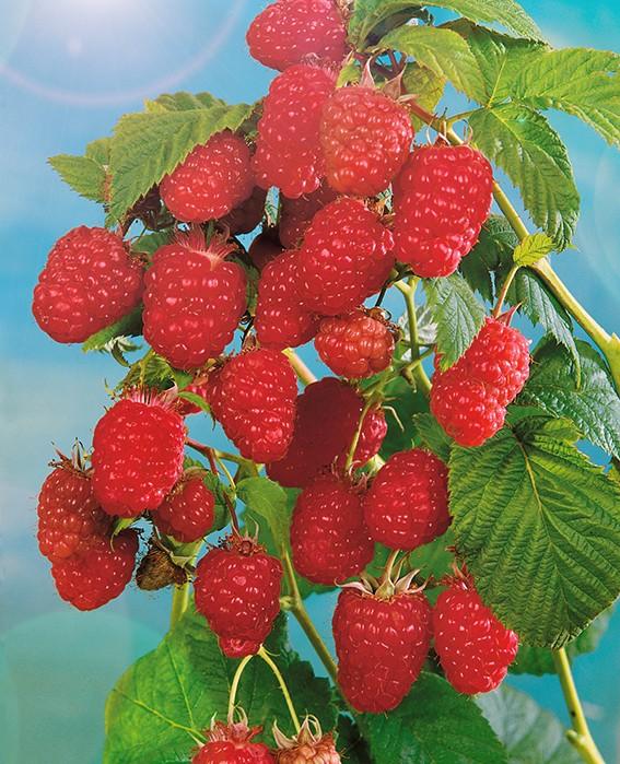 Малина СолнышкоМалина красная<br>Достоинства:<br>высокая продуктивность, крупные плоды, высокое качество<br>плодов.<br>
