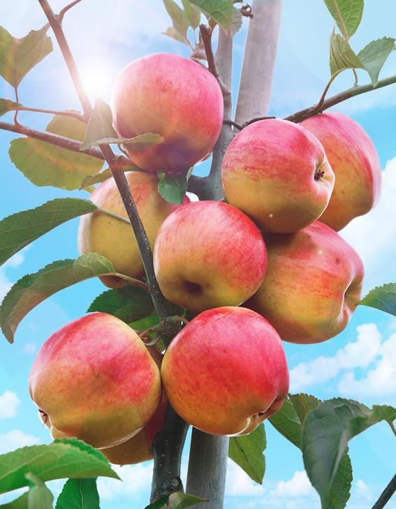 Яблоня ТатьянаЯблоня Осенние сорта<br>Дерево хорошей силы<br>роста, зимостойкое. Плоды крупные, 110 г, выровненные,<br>плоскоокруглые, правильной формы.<br>