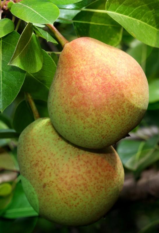 Груша ДекабринкаГруша зимние сорта<br>Дерево среднерослое, зимостойкое, высокоурожайное.<br>Плоды тёмно-жёлтые, со слабым<br>загаром, средней массой 100 г,<br>крупные — 120 г.<br>