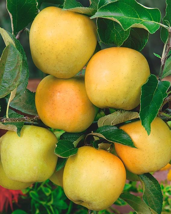 Яблоня ЧудноеЯблони - низкорослые - карлики Мазунина<br>Естественный карлик. Сорт высокой зимостойкости и урожайности,<br>устойчив к парше. Вступает в плодоношение на третий год после посадки<br>однолетками.<br>
