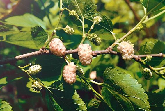 Шелковица белаяШелковица<br>НОВИНКА!  <br><br><br>Хоть она и называется «белая», но плоды у неё могут быть и красные, и<br>чёрные.<br>