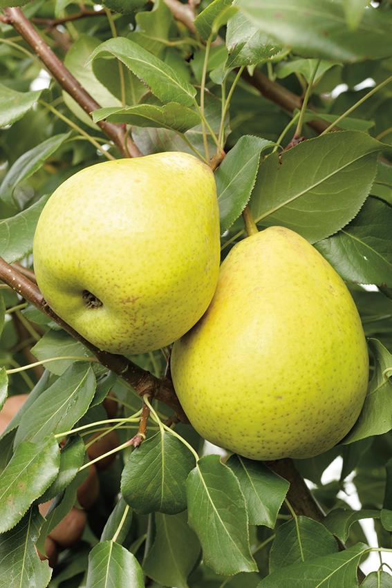 Груша ЗолотистаяГруша зимние сорта<br>НОВИНКА!  <br><br>Чудесный сорт! Крупные, массой до 190 г, золотисто-жёлтые и по-настоящему вкусные плоды этой<br>груши понравятся всем.<br>