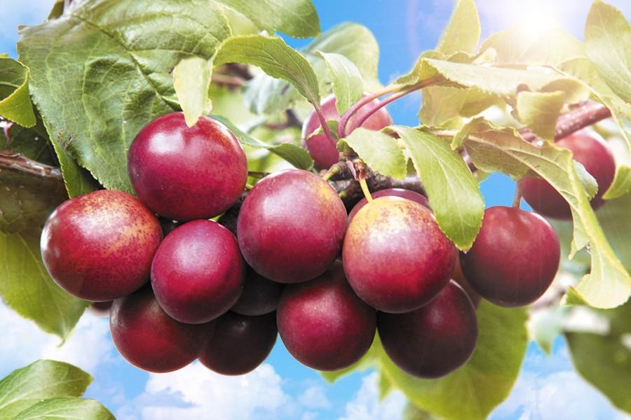 Тернослива Гордость СибириСлива<br>НОВИНКА!  <br><br> <br>Совсем как настоящая слива, только плоды более<br>мясистые, хотя и мельче, чем у Билясувара (около 25<br>г).<br>