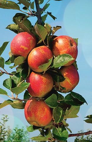 Яблоня ПриземлённоеЯблони - низкорослые - карлики Мазунина<br>НОВИНКА!  <br><br>Дерево-суперкарлик, с плоскогоризонтальной кроной, высотой 1,2-1,5 м. Исключительно скороплодное,<br>начинает плодоносить в двулетнем возрасте.<br>