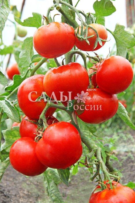 Помидоры Елена F1Помидоры для открытого грунта<br>Это помидор всепогодный.<br>