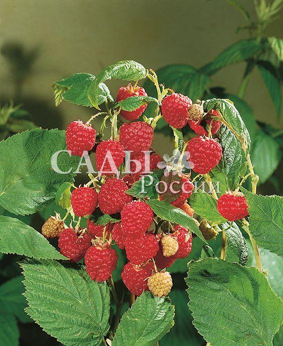 Ремонтантная малина АвгустинаРемонтантная малина<br>Один из<br>сортов, которые рекомендуются для регионов с непродолжительным и прохладным летом. Ягоды привлекательного внешнего вида, ярко-красные, крупные.<br>