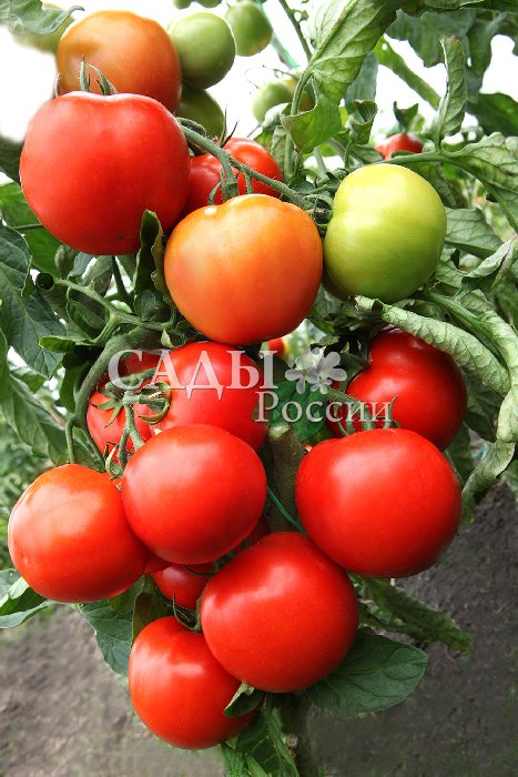 Помидоры Енисей F1Помидоры сверхкрупноплодные<br>Самое правильное определение этому гибриду — надёжный.<br>Отличный гармоничный вкус крупных, до 500 г весом, помидоров<br>никого не оставит равнодушным. Но самое главное — это высокая<br>урожайность.<br>