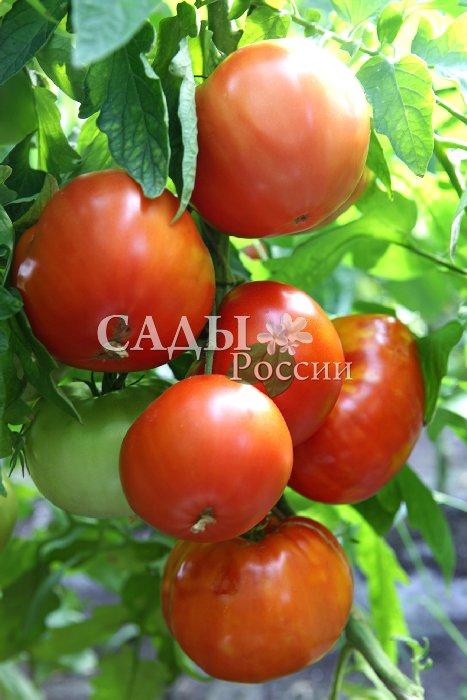 Помидоры Любимый коралл F1Помидоры сверхкрупноплодные<br>В помидорном ряду этот гибрид всегда стоит особняком. Он красивый, ровный, гладкий, без морщин. Обильный урожай плодов<br>весом до 700 г.<br>