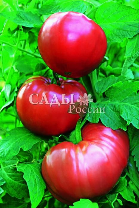 Помидоры Маэстро F1Помидоры сверхкрупноплодные<br>Довольно редко среди сверхкрупноплодных помидоров можно увидеть<br>идеально круглые плоды.<br>
