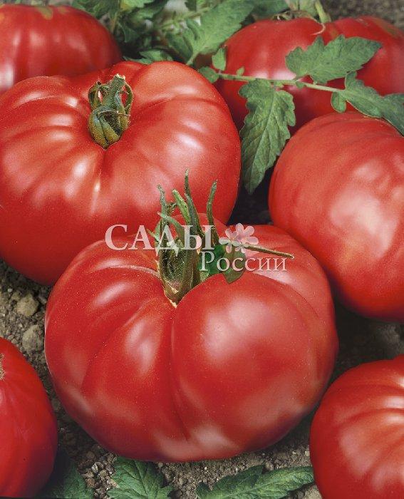Помидоры Урожайный парадокс F1Помидоры сверхкрупноплодные<br>Случаются иногда в помидорном царстве настоящие парадоксы. Есть<br>сорта, у которых и кусты, и плоды под стать друг другу. Мощный крепкий<br>куст даёт крупные плоды, слабый куст — плоды невзрачные.<br>
