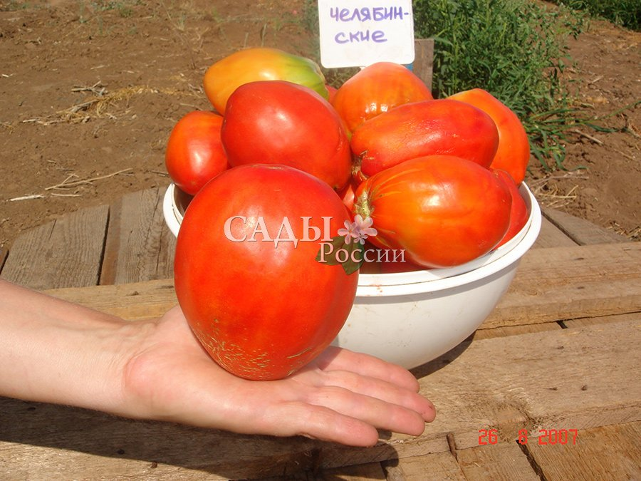 Помидоры Челябинский баклажан F1Помидоры сверхкрупноплодные<br>Традиционный крупноплодный сорт томатов, имеющий эллипсовидную<br>с заострённым носиком форму плодов весом 600 г.<br>