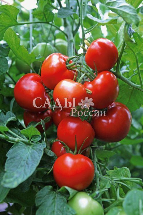 Помидоры Аргонавт F1Помидоры-Супер<br>Высокая устойчивость к фитофторе,<br>даёт очень высокий урожай даже<br>при резких перепадах температуры.<br>