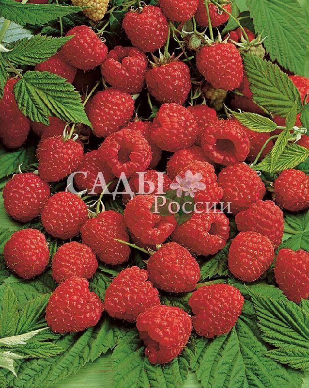 Ремонтантная малина БриллиантоваяРемонтантная малина<br>Ягоды крупные до 3,5 г, округло-конические, плотные, тёмнорубинового цвета, хорошего освежающего вкуса. Фактическая<br>урожайность — до 2 кг с куста.<br>