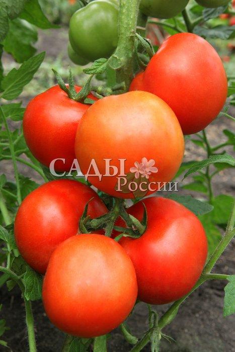 Помидоры Восход F1Помидоры-Супер<br>Самый урожайный из суперпомидоров.<br>
