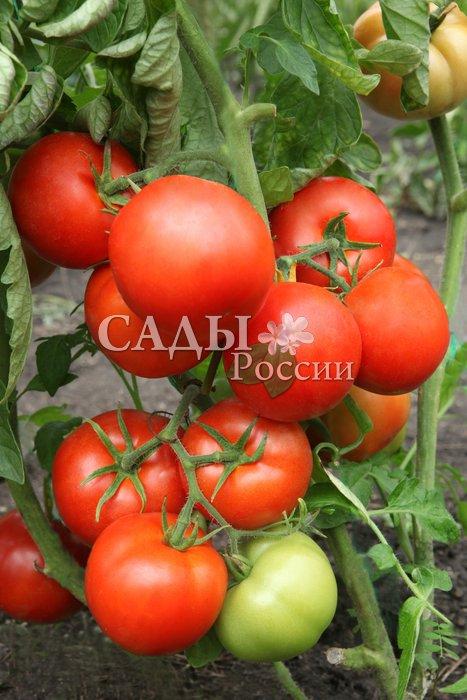 Помидоры Кондор F1Помидоры-Супер<br>Урожайность у него несколько<br>меньше, чем у других суперпомидоров,<br>но все плоды ровные<br>и крупные, весом до 450 г.<br>