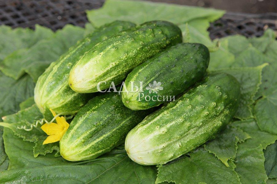 Огурцы Вернисаж F1Огурцы для теплиц<br>Огурчики на его кусте и впрямь словно картинки с вернисажа — красивые, аккуратненькие, тёмно-зелёные, небольшие, 10—12 см длиной.<br>