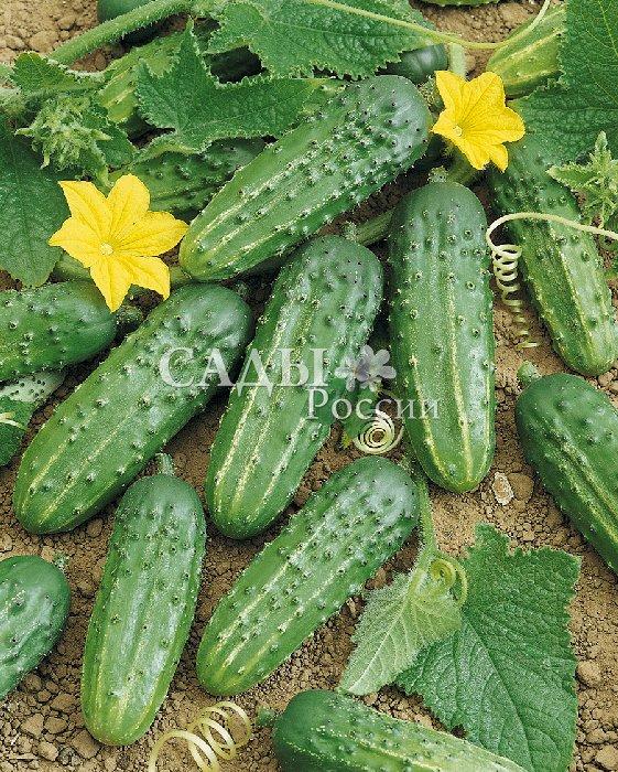 Огурцы Старатель F1Огурцы всепогодные<br>Цветёт только женскими цветками, а это значит, что пустоцвета<br>не бывает. Калиброванные огурчики с великолепным<br>вкусом и нежнейшей консистенцией.<br>