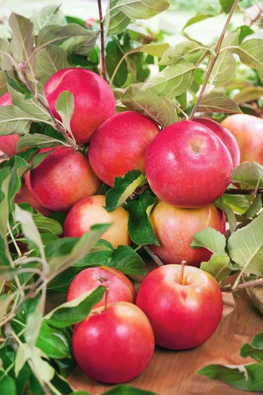 Яблоня УралецЯблоня Осенние сорта<br>Очень красивое<br>стройное дерево с великолепной пирамидальной кроной.<br>
