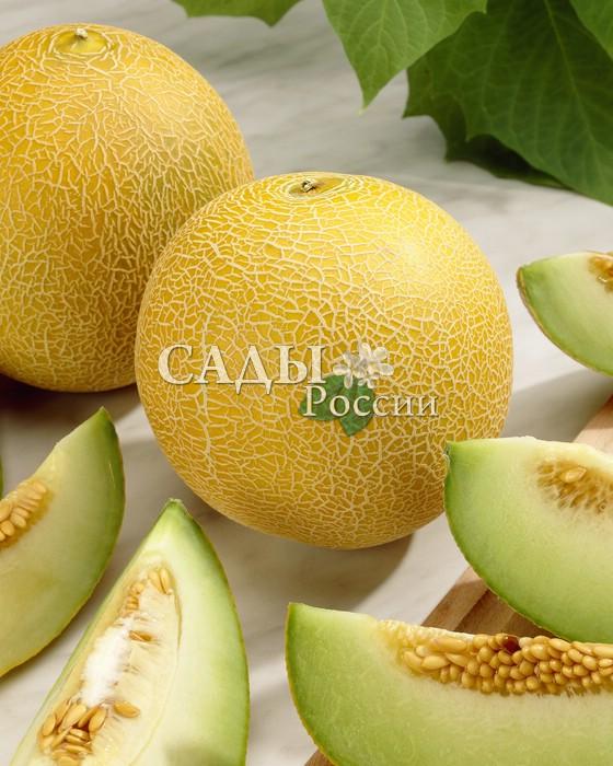 Дыни Дюна F1Дыни<br>Жёлтая, с солнечным оранжевым оттенком трещинок под сеткой.<br>При этом плоды никогда не растрескиваются и обладают хорошей<br>лёжкостью.<br>