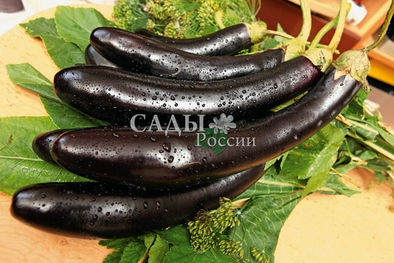 Баклажаны Лорд F1Баклажаны<br>Куст высотой 90 см. Очень крупные удлинённые плоды весом до 500 г,<br>блестяще-чёрные, одинаково крупные, отличного вкуса.<br>