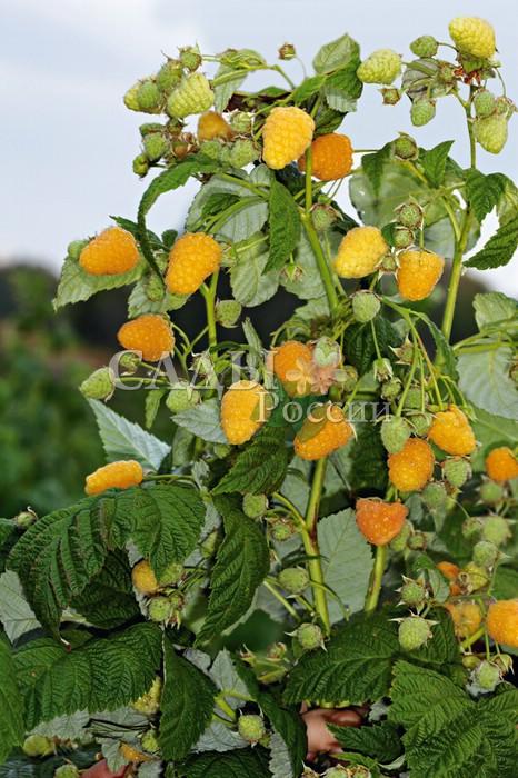 Ремонтантная малина Золотая осеньРемонтантная малина<br>Новейший крупноплодный сорт ремонтантной малины. Прежде всего<br>Золотая осень поражает размером и внешним видом своих<br>ягод.<br>