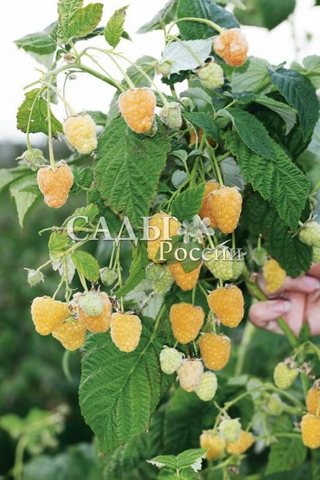 Ремонтантная малина Золотые куполаРемонтантная малина<br>Один из самых ранних и урожайных ремонтантных сортов<br>с жёлтой окраской ягод. Точнее окраска у ягод Золотых<br>куполов не чисто жёлтая, а жёлтая с оранжево-розовым<br>оттенком.<br>
