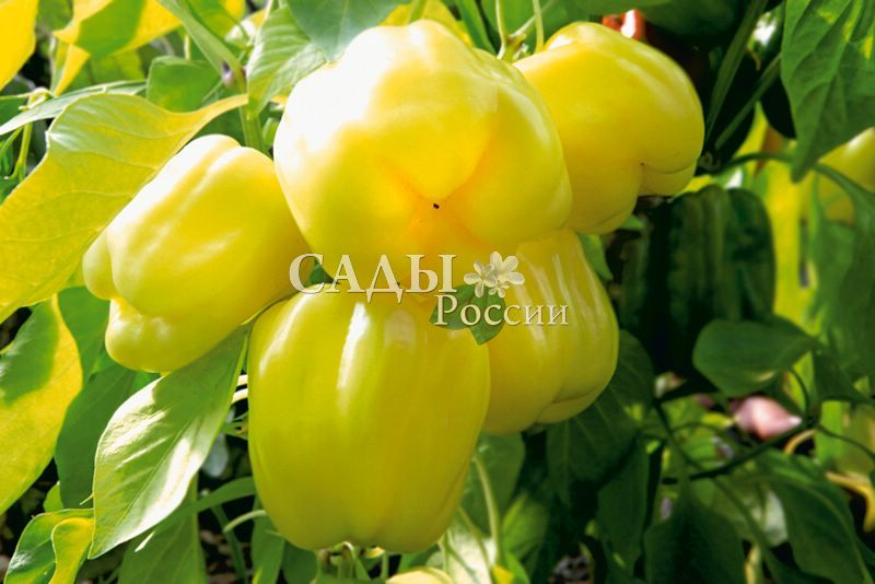 Перец Радуга F1 сладкийПерец сладкий<br>Ранний гибрид для выращивания в теплицах, плёночных укрытиях и открытом<br>грунте. В открытом грунте высота куста<br>80 см.<br>