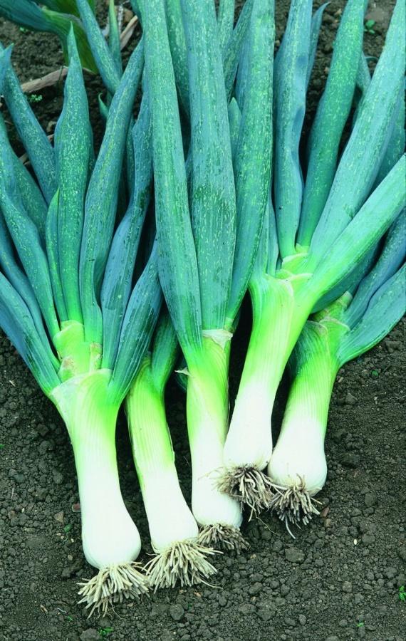 Лук Новик F1 батунЛук-батун<br>Мы представляем Вашему вниманию новый сорт лука-батуна. Раннеспелый. Сорт салатного назначения. Период от полных всходов до массового<br>отмирания пера 100-140 дней. Масса одного растения 200-300 г.<br>