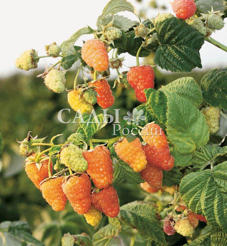 Ремонтантная малина Оранжевое чудоРемонтантная малина<br>А<br>вот и он — солнечный, огненный, совершенный сорт.<br>Элита ремонтантной малины. Ярко-оранжевые ягоды потрясающего вкуса блестят, переливаясь, в лучах пока ещё<br>тёплого летнего солнца.<br>
