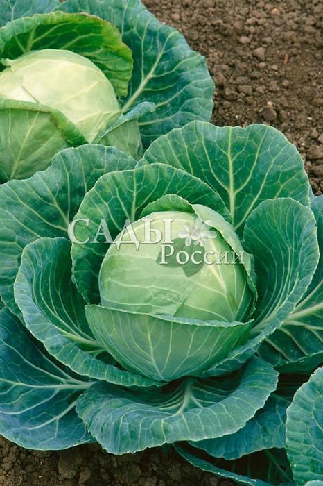 Капуста Алёнушка F1 белокочаннаяКапуста белокочанная средняя<br>Среднеспелый, вегетационный период 95—100 дней, хорош<br>для употребления в свежем виде, может храниться 4—5 месяцев.<br>
