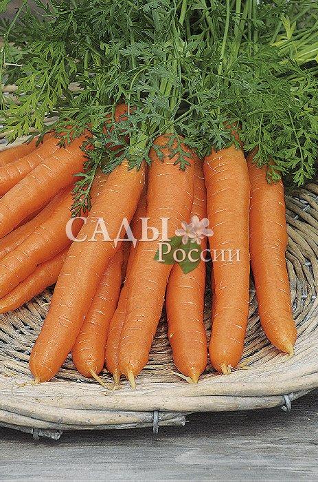 Морковь Белочка F1Морковь<br>Корнеплоды выровненные,<br>товарные, однородные, длиной<br>до 19 см. Очень высокие вкусовые качества. Пригоден для свежего<br>употребления и переработки.<br>